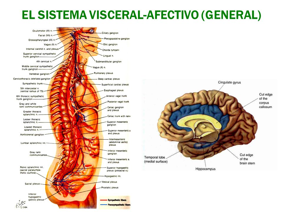 EL SISTEMA VISCERAL-AFECTIVO (GENERAL)