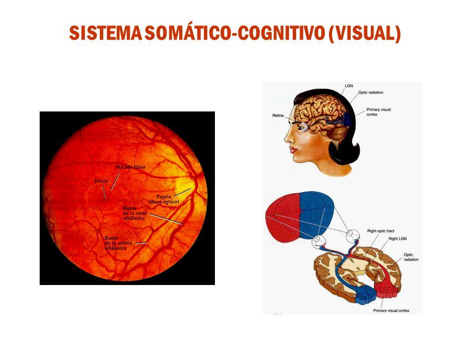SISTEMA SOMÁTICO-COGNITIVO (VISUAL)