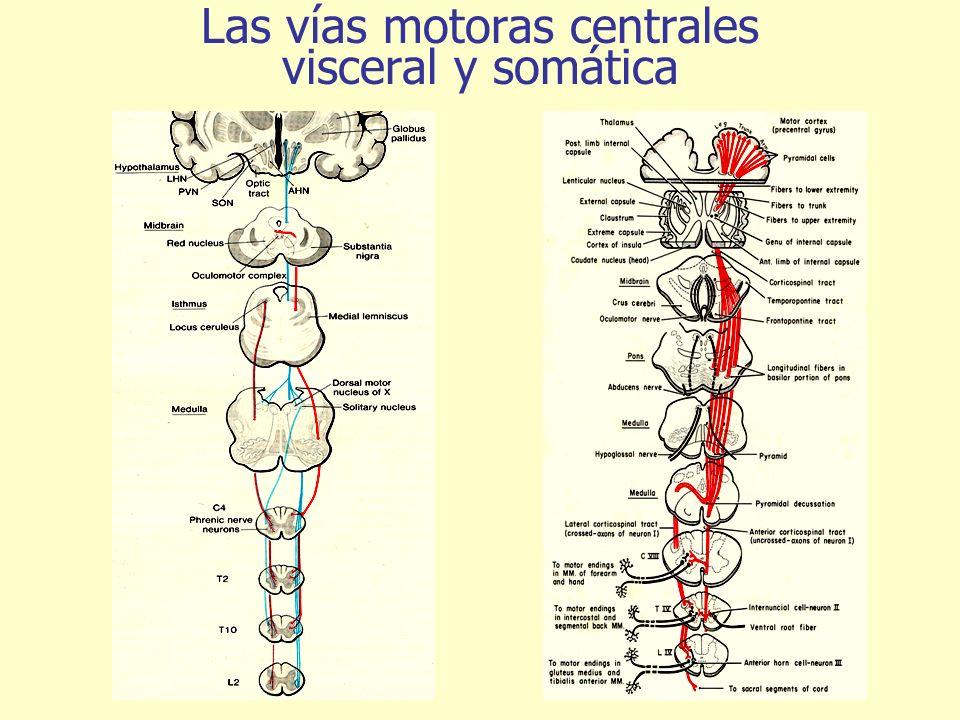 Las vías motoras centrales visceral y somática