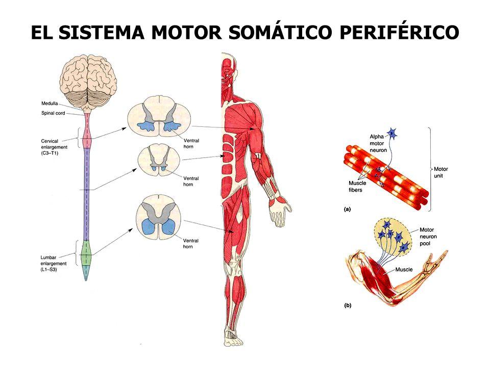 EL SISTEMA MOTOR SOMÁTICO PERIFÉRICO