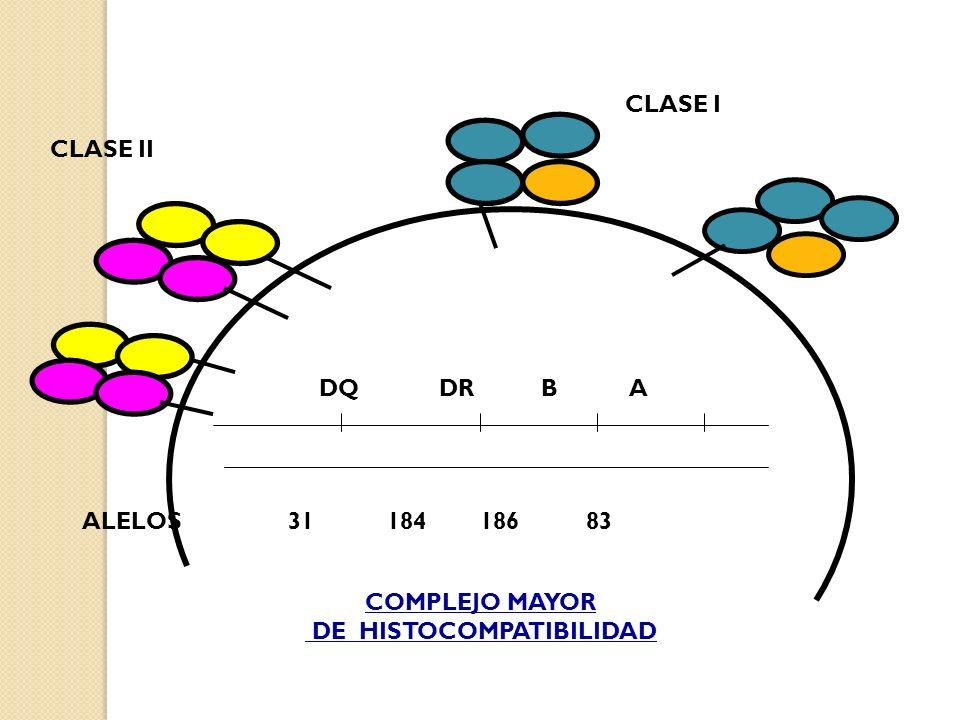 CLASE I CLASE II. DQ DR B A. ALELOS 31 184 186 83.