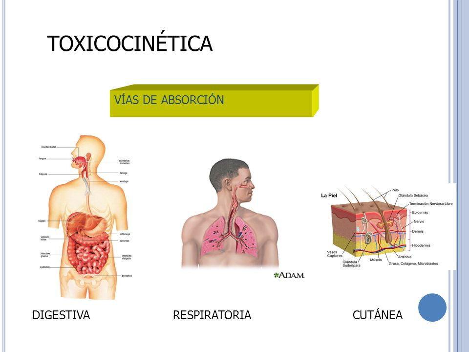 TOXICOCINÉTICA VÍAS DE ABSORCIÓN DIGESTIVA RESPIRATORIA CUTÁNEA