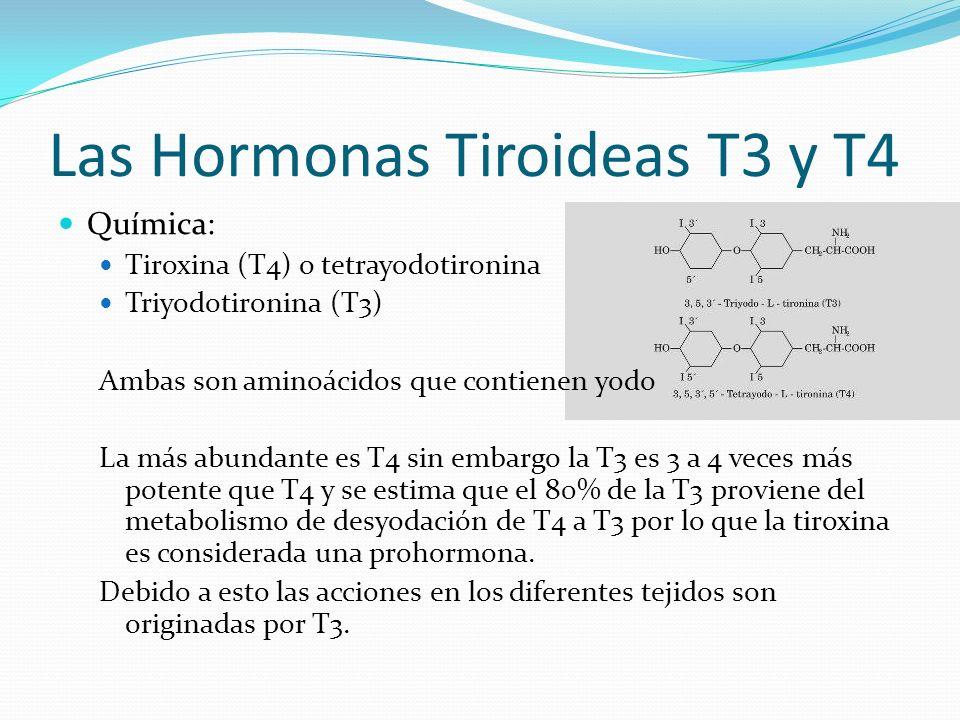 Las Hormonas Tiroideas T3 y T4