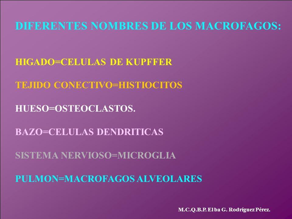 DIFERENTES NOMBRES DE LOS MACROFAGOS: