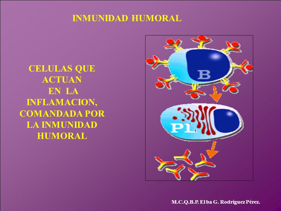 INMUNIDAD HUMORAL CELULAS QUE ACTUAN EN LA INFLAMACION, COMANDADA POR