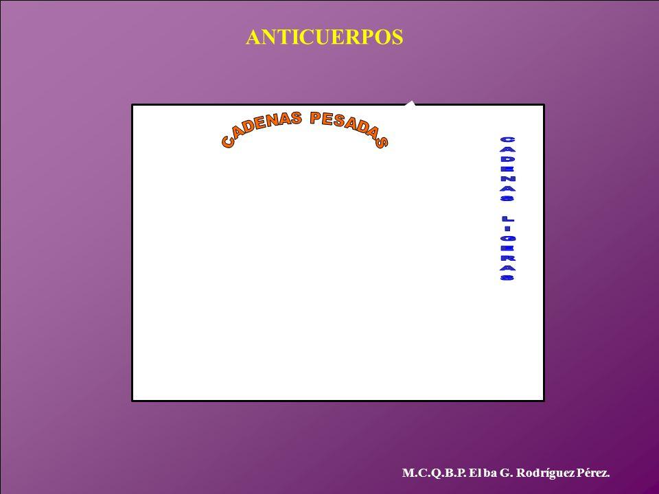 ANTICUERPOS M.C.Q.B.P. El ba G. Rodríguez Pérez. CADENAS PESADAS