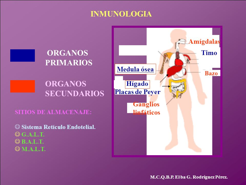 INMUNOLOGIA PRIMARIOS ORGANOS SECUNDARIOS Amígdalas ORGANOS Timo