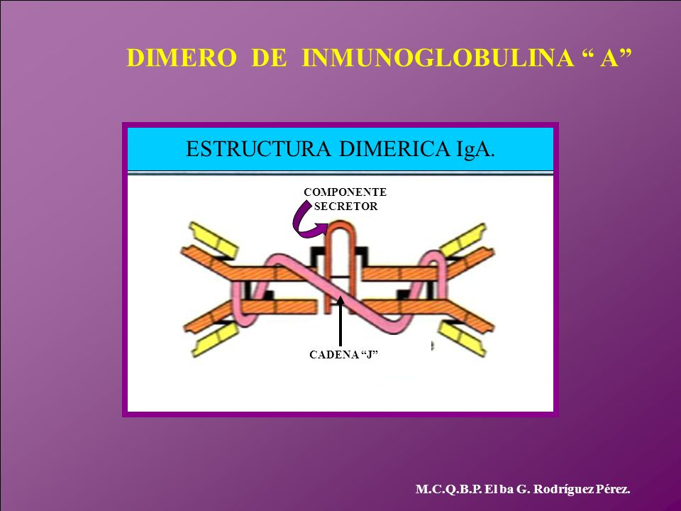 ESTRUCTURA DIMERICA IgA.