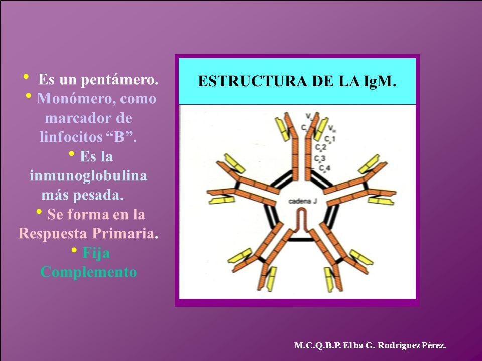 marcador de linfocitos B .