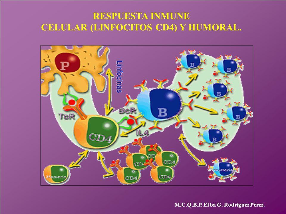 CELULAR (LINFOCITOS CD4) Y HUMORAL.
