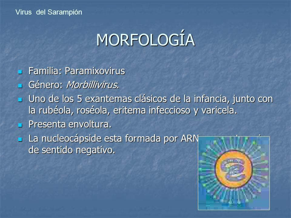 MORFOLOGÍA Familia: Paramixovirus Género: Morbillivirus.