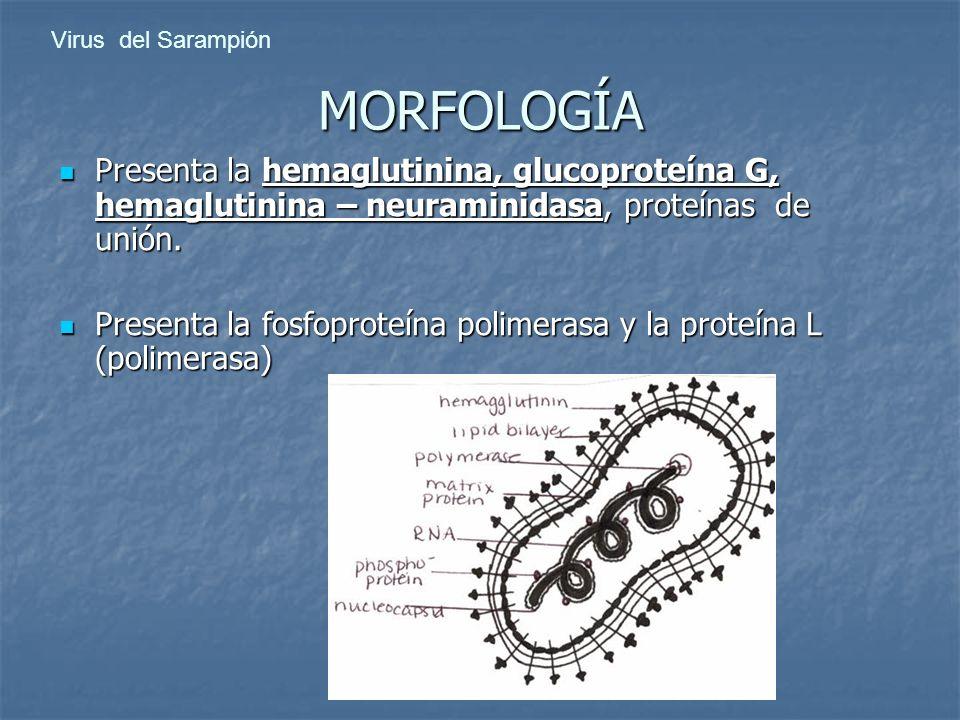 Virus del Sarampión MORFOLOGÍA. Presenta la hemaglutinina, glucoproteína G, hemaglutinina – neuraminidasa, proteínas de unión.