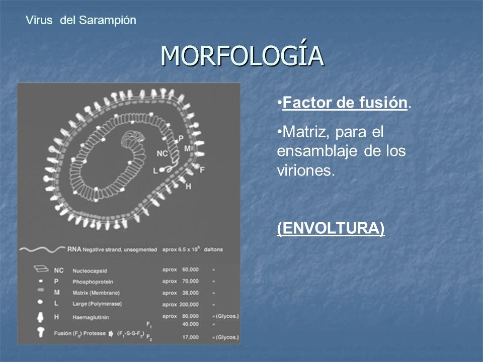 MORFOLOGÍA Factor de fusión.