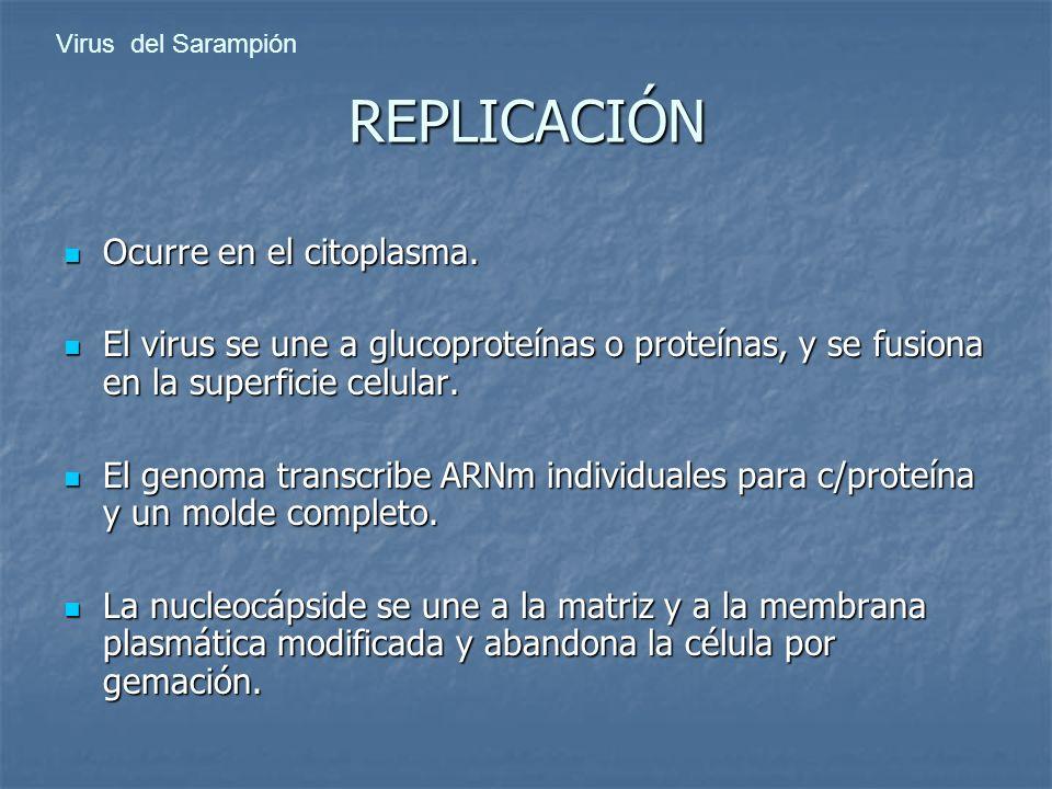 REPLICACIÓN Ocurre en el citoplasma.