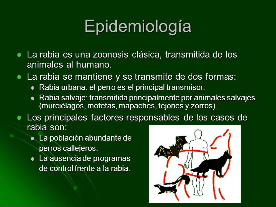 Epidemiología La rabia es una zoonosis clásica, transmitida de los animales al humano. La rabia se mantiene y se transmite de dos formas: