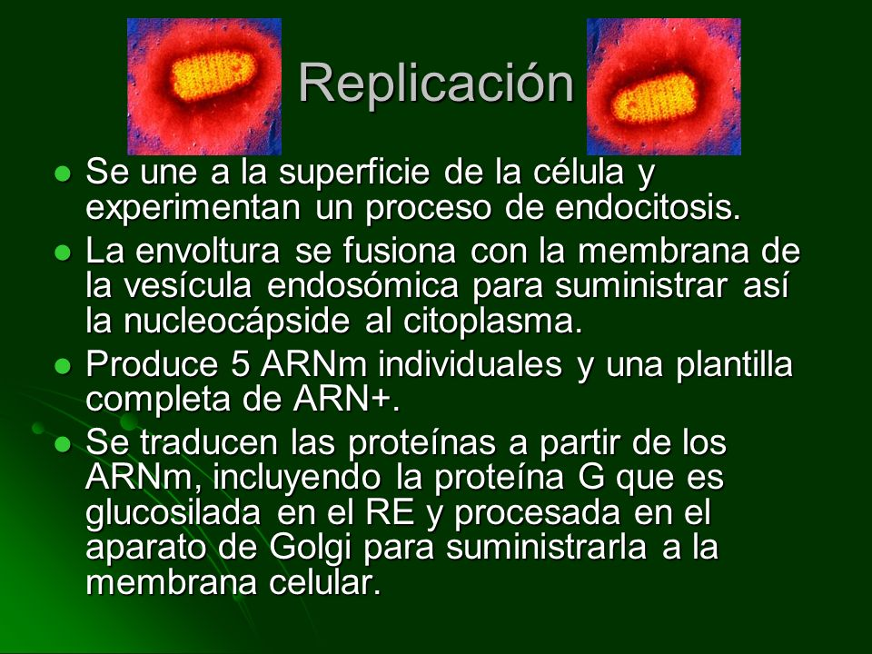 Replicación Se une a la superficie de la célula y experimentan un proceso de endocitosis.