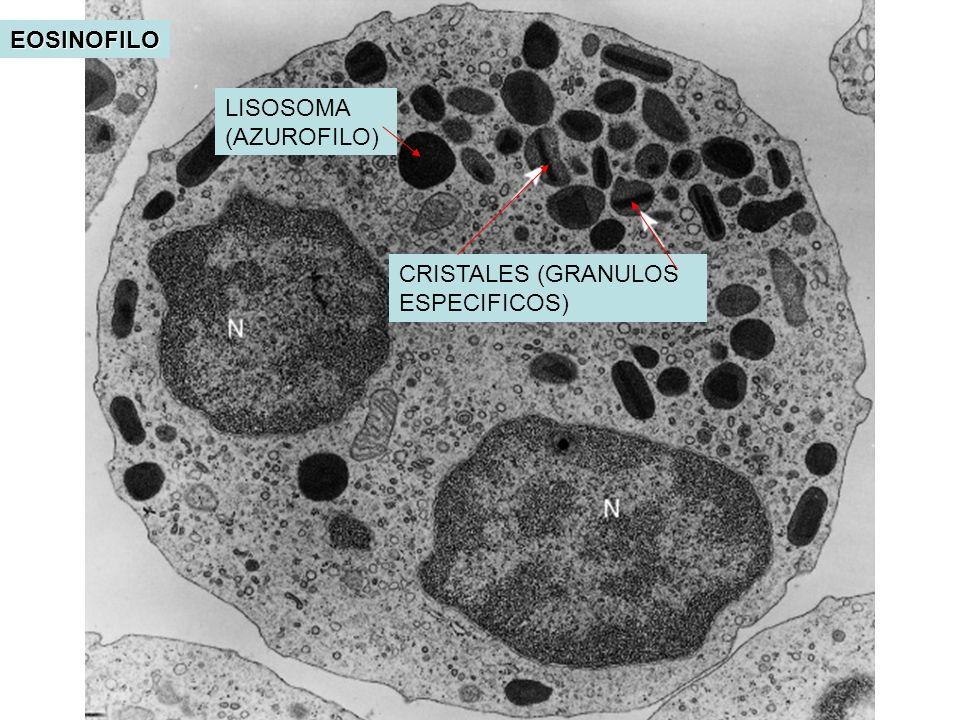 EOSINOFILO LISOSOMA (AZUROFILO) CRISTALES (GRANULOS ESPECIFICOS)