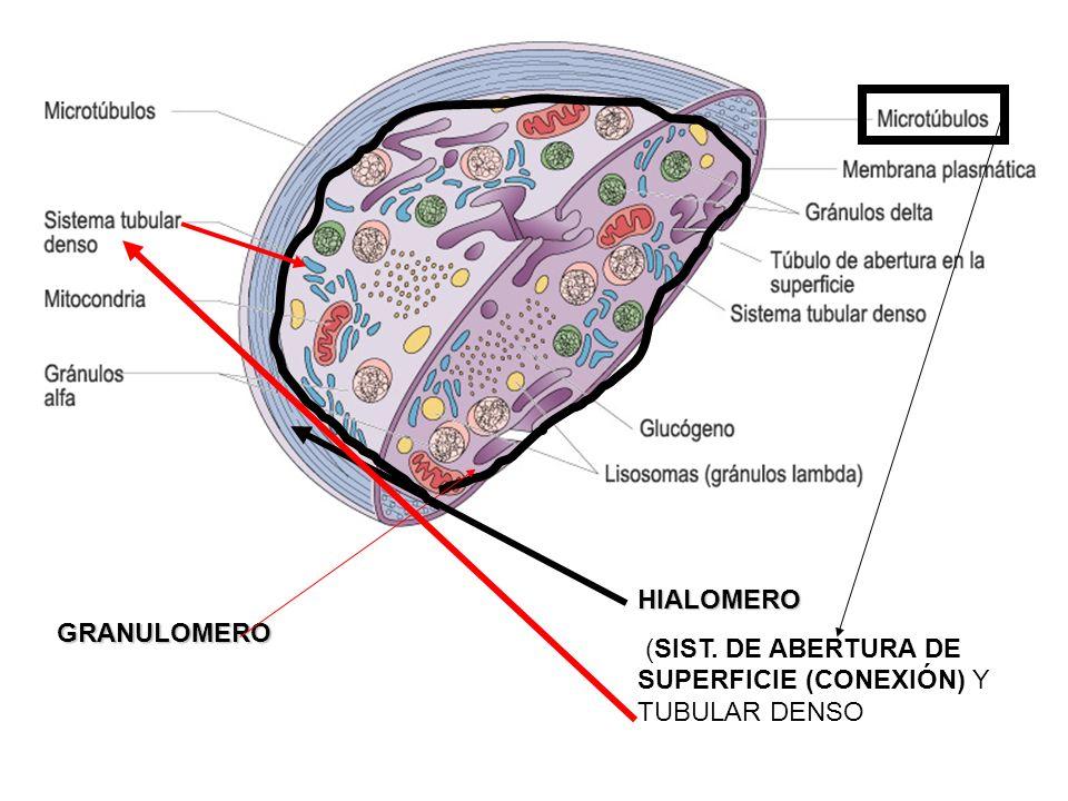 HIALOMERO (SIST. DE ABERTURA DE SUPERFICIE (CONEXIÓN) Y TUBULAR DENSO GRANULOMERO