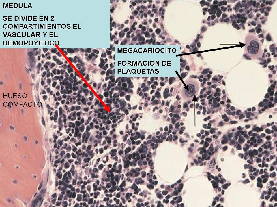MEDULA SE DIVIDE EN 2 COMPARTIMIENTOS EL VASCULAR Y EL HEMOPOYETICO. MEGACARIOCITO. FORMACION DE PLAQUETAS.