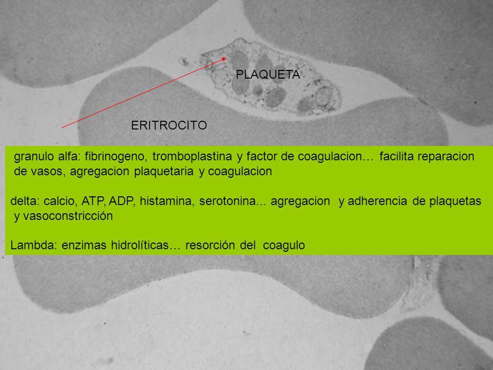 PLAQUETA ERITROCITO. granulo alfa: fibrinogeno, tromboplastina y factor de coagulacion… facilita reparacion.