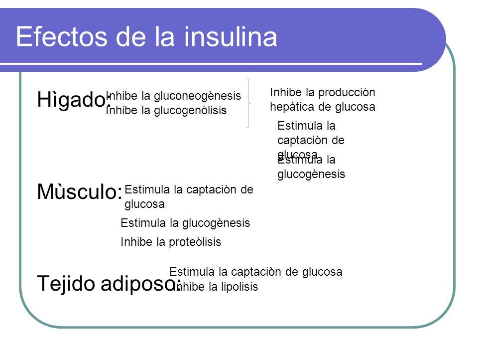 Efectos de la insulina Hìgado: Mùsculo: Tejido adiposo:
