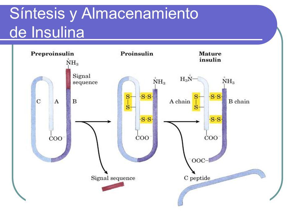 Síntesis y Almacenamiento de Insulina