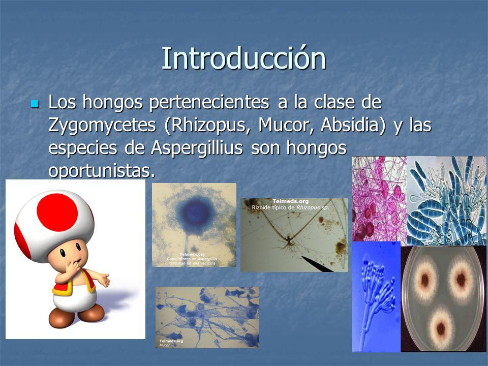 Introducción Los hongos pertenecientes a la clase de Zygomycetes (Rhizopus, Mucor, Absidia) y las especies de Aspergillius son hongos oportunistas.