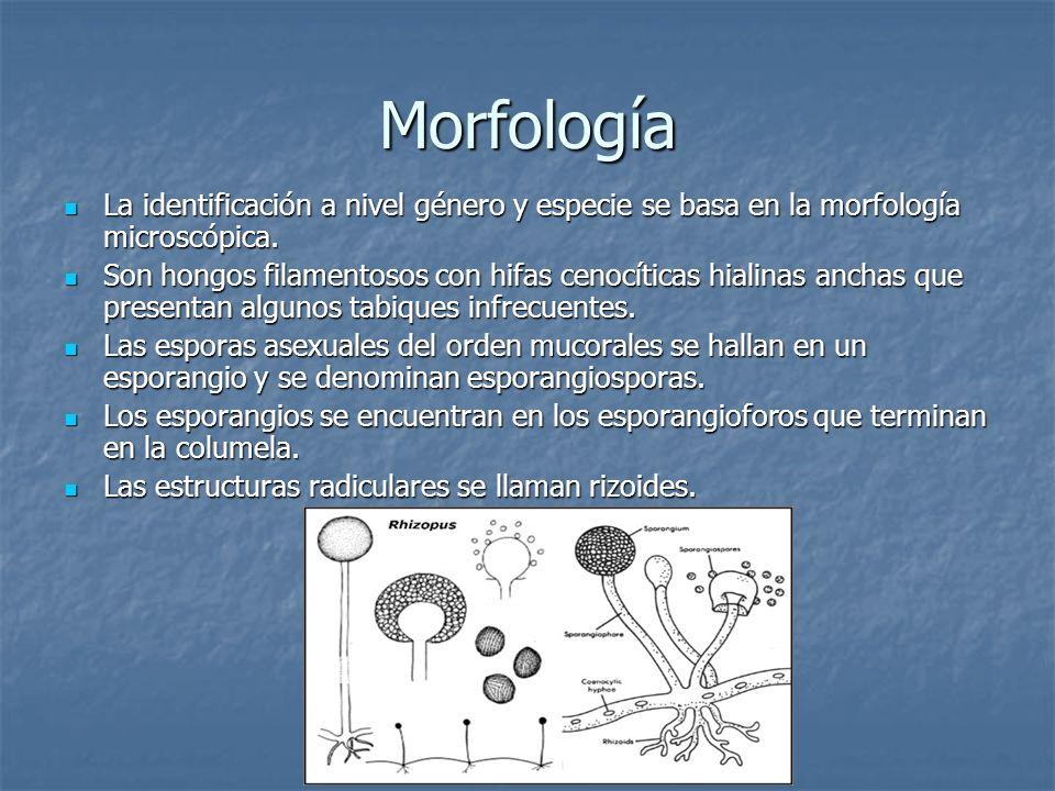 MorfologíaLa identificación a nivel género y especie se basa en la morfología microscópica.