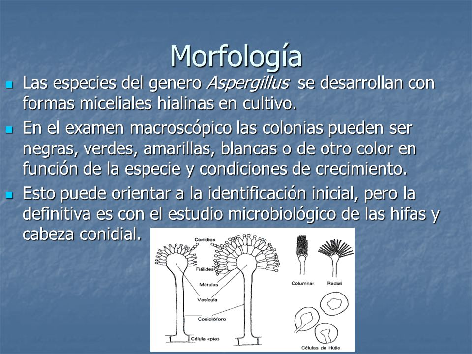 Morfología Las especies del genero Aspergillus se desarrollan con formas miceliales hialinas en cultivo.