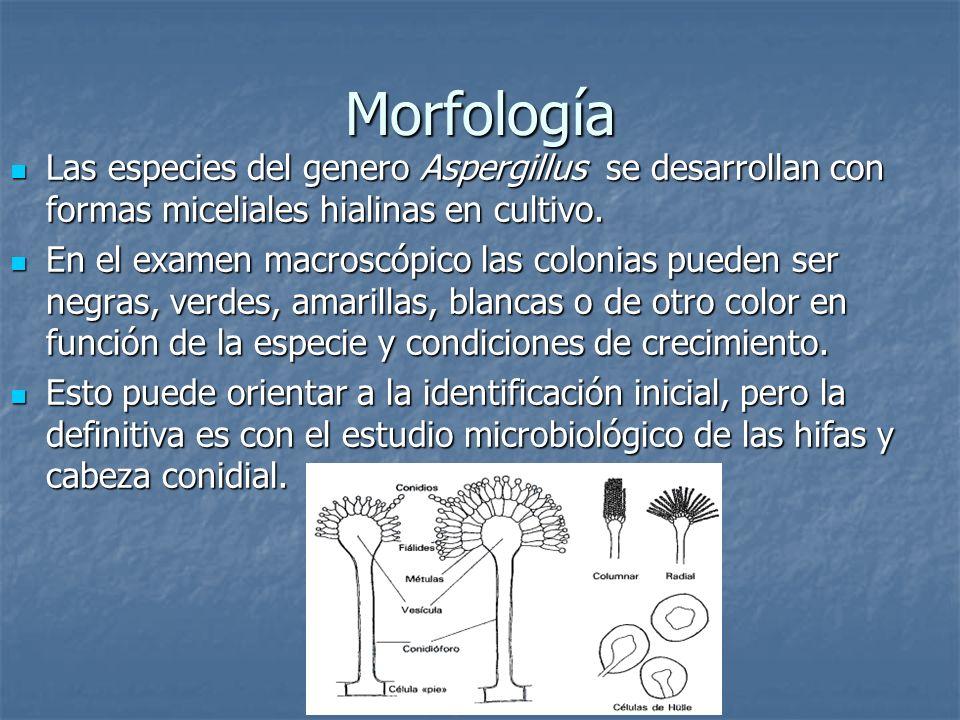 MorfologíaLas especies del genero Aspergillus se desarrollan con formas miceliales hialinas en cultivo.