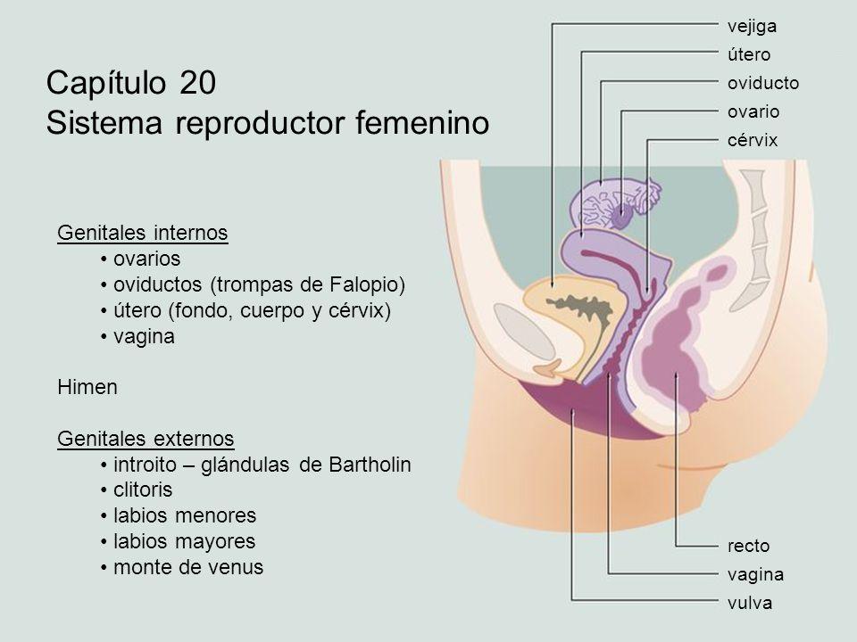 Sistema reproductor femenino - ppt video online descargar