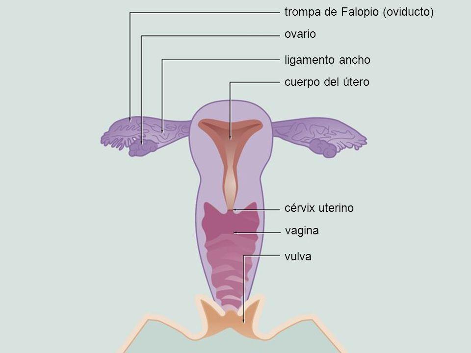 trompa de Falopio (oviducto)