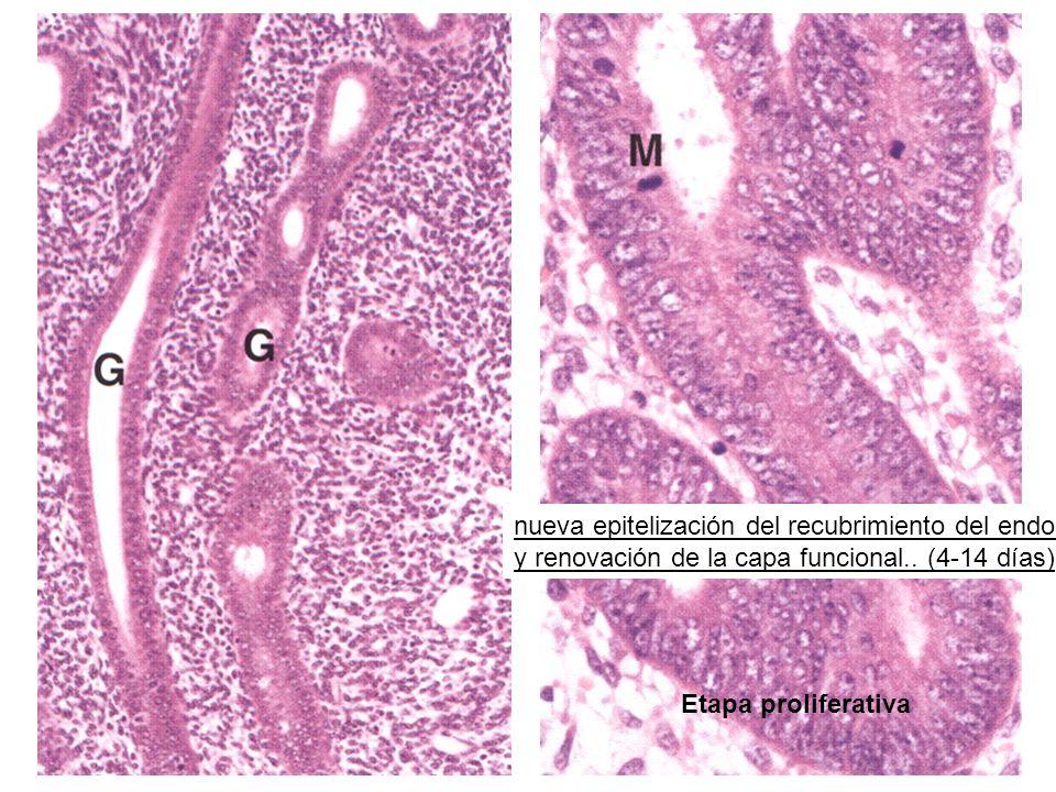 Etapa proliferativa nueva epitelización del recubrimiento del endometrio.
