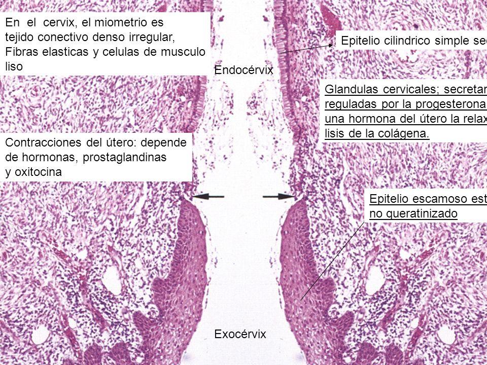 Exocérvix Endocérvix. En el cervix, el miometrio es. tejido conectivo denso irregular, Fibras elasticas y celulas de musculo.