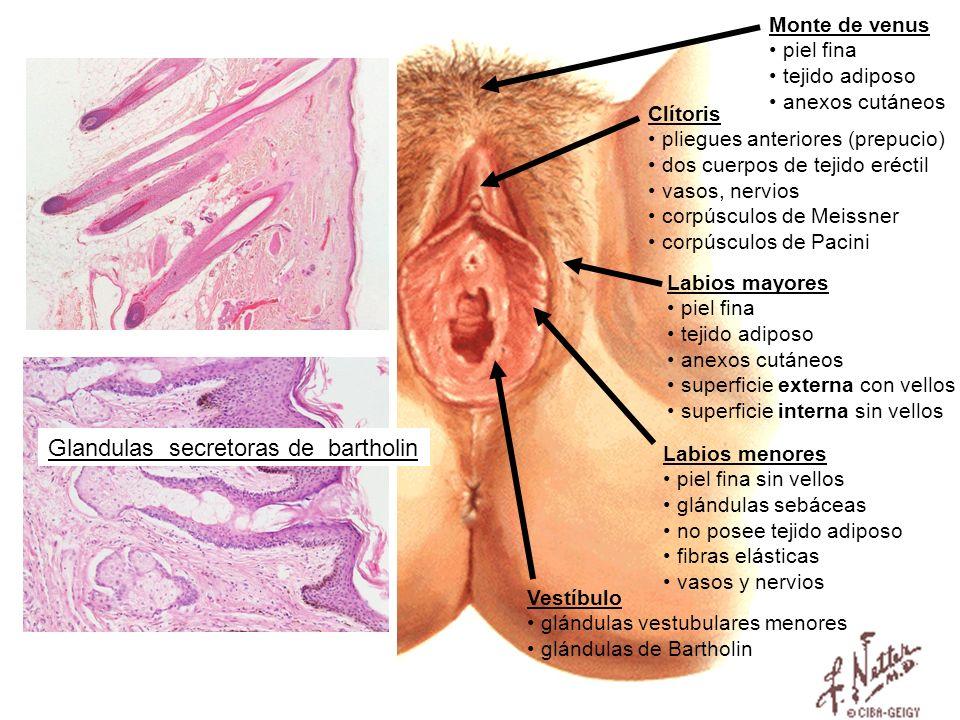 Glandulas secretoras de bartholin