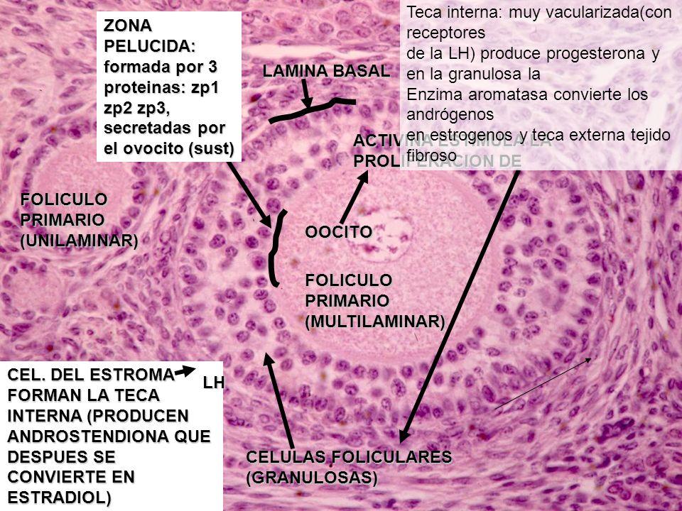 Teca interna: muy vacularizada(con receptores