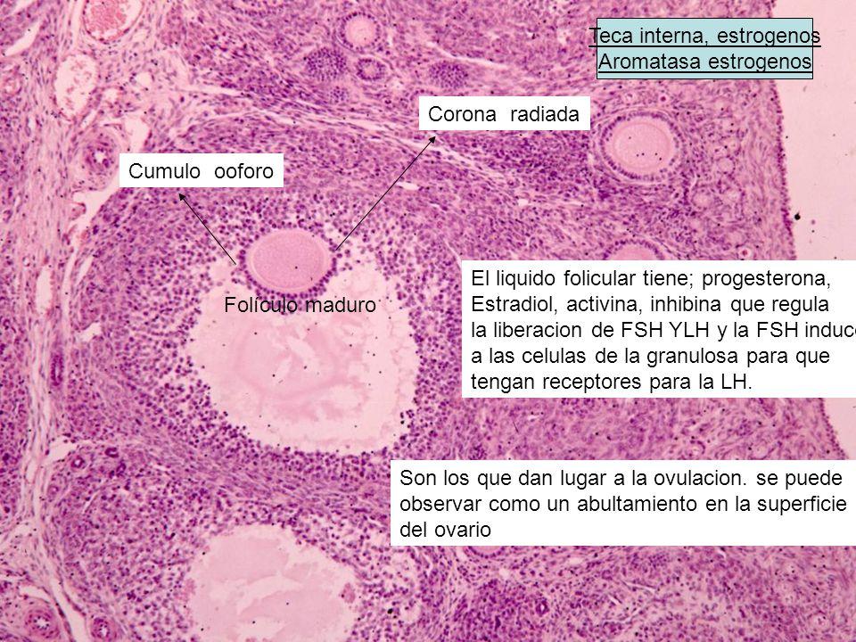 Teca interna, estrogenos