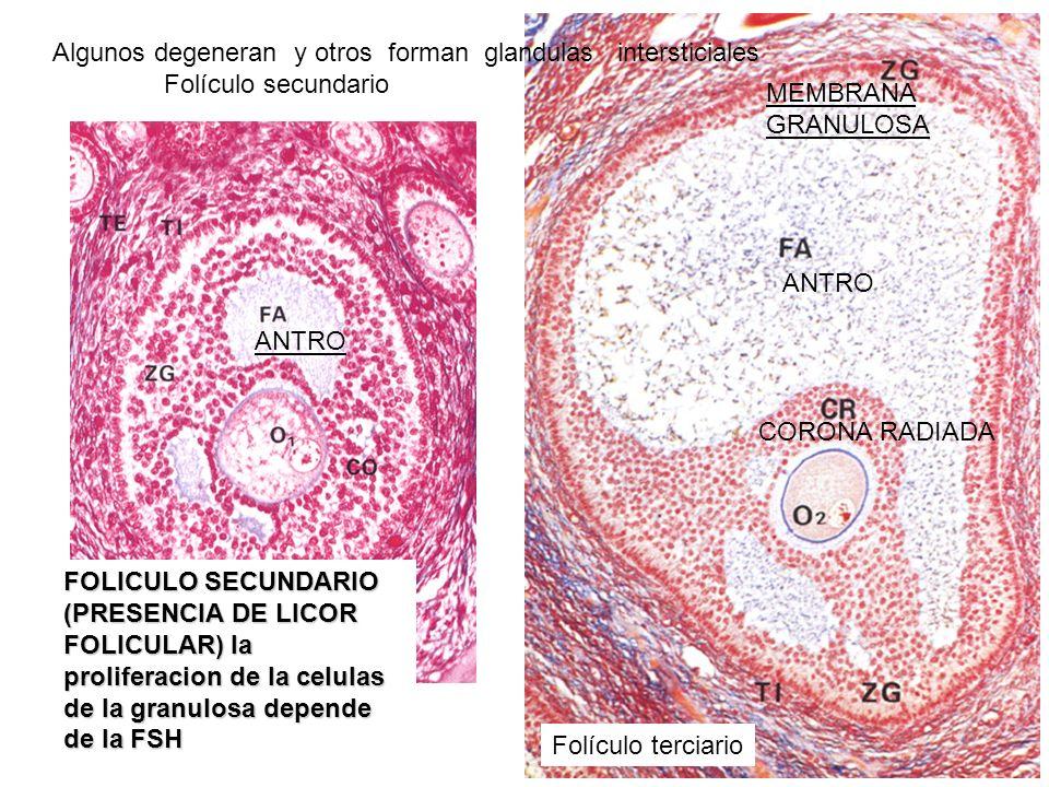 Algunos degeneran y otros forman glandulas intersticiales
