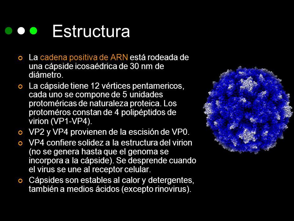 EstructuraLa cadena positiva de ARN está rodeada de una cápside icosaédrica de 30 nm de diámetro.
