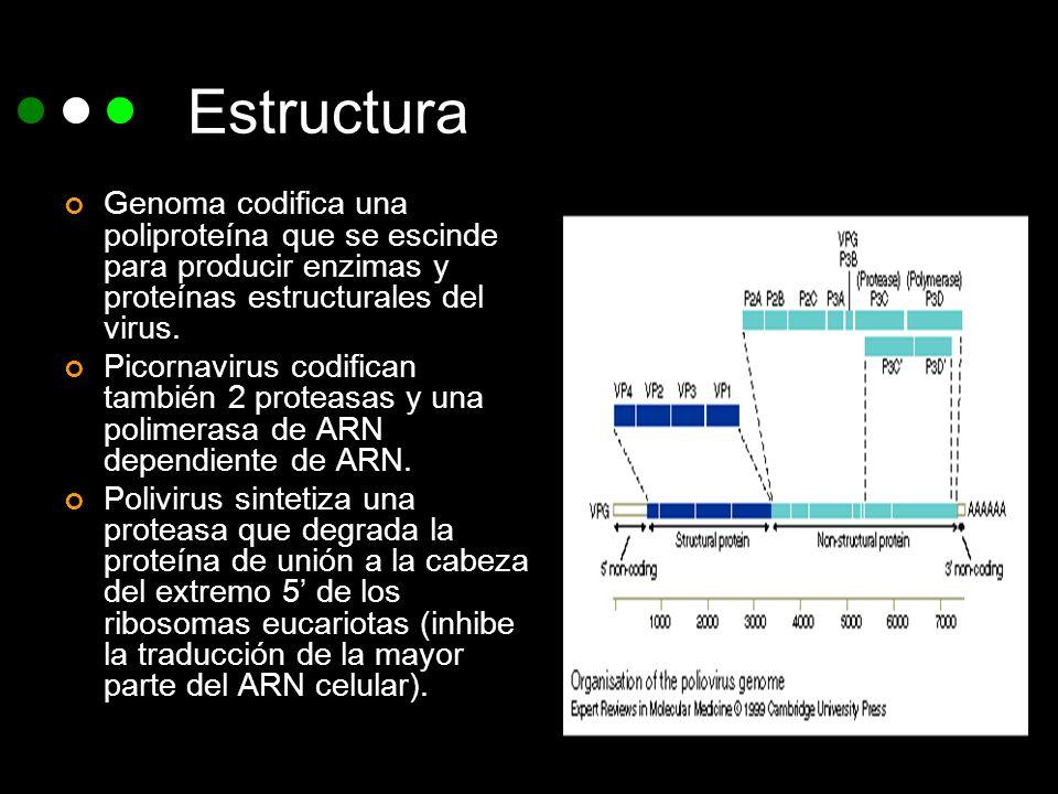 Estructura Genoma codifica una poliproteína que se escinde para producir enzimas y proteínas estructurales del virus.