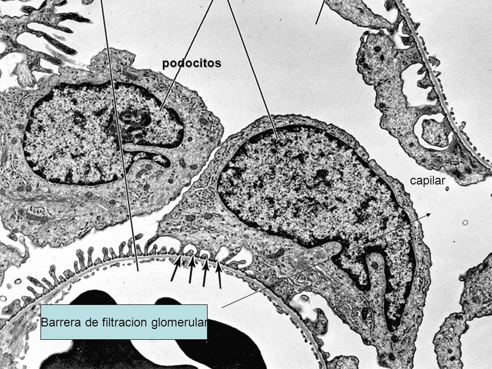 Barrera de filtracion glomerular