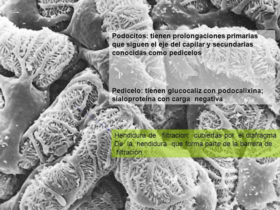Podocitos: tienen prolongaciones primarias que siguen el eje del capilar y secundarias conocidas como pedicelos