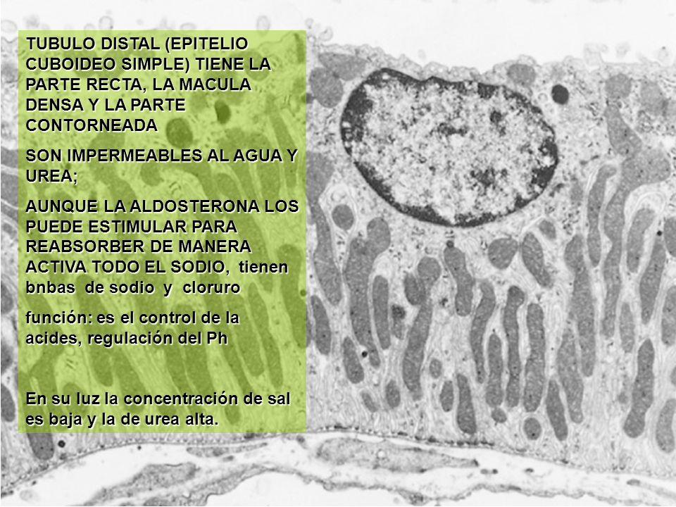 TUBULO DISTAL (EPITELIO CUBOIDEO SIMPLE) TIENE LA PARTE RECTA, LA MACULA DENSA Y LA PARTE CONTORNEADA