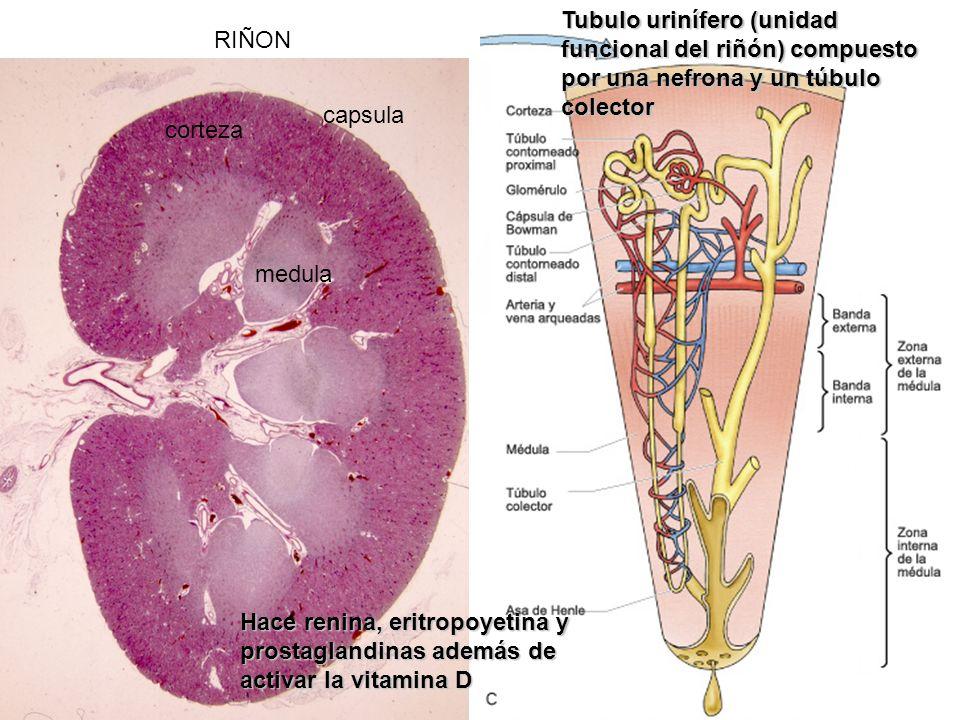 Tubulo urinífero (unidad funcional del riñón) compuesto por una nefrona y un túbulo colector