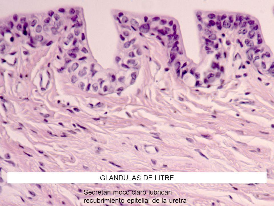 GLANDULAS DE LITRE Secretan moco claro lubrican recubrimiento epitelial de la uretra