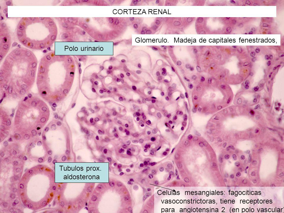 CORTEZA RENAL Glomerulo. Madeja de capitales fenestrados, Polo urinario. Tubulos prox. aldosterona.