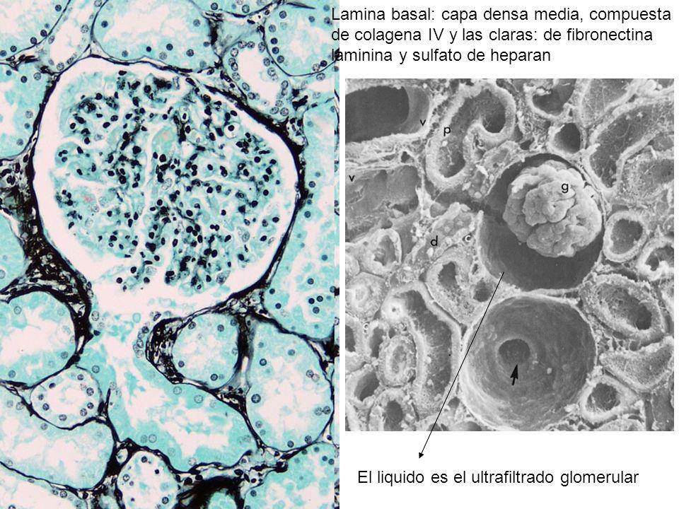 Lamina basal: capa densa media, compuesta