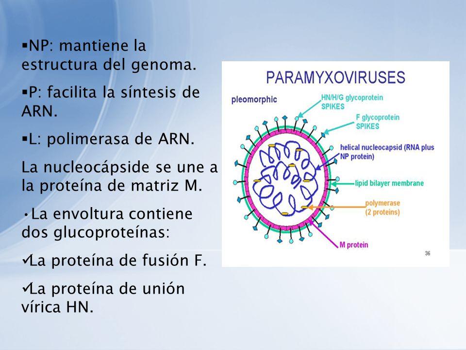 NP: mantiene la estructura del genoma.