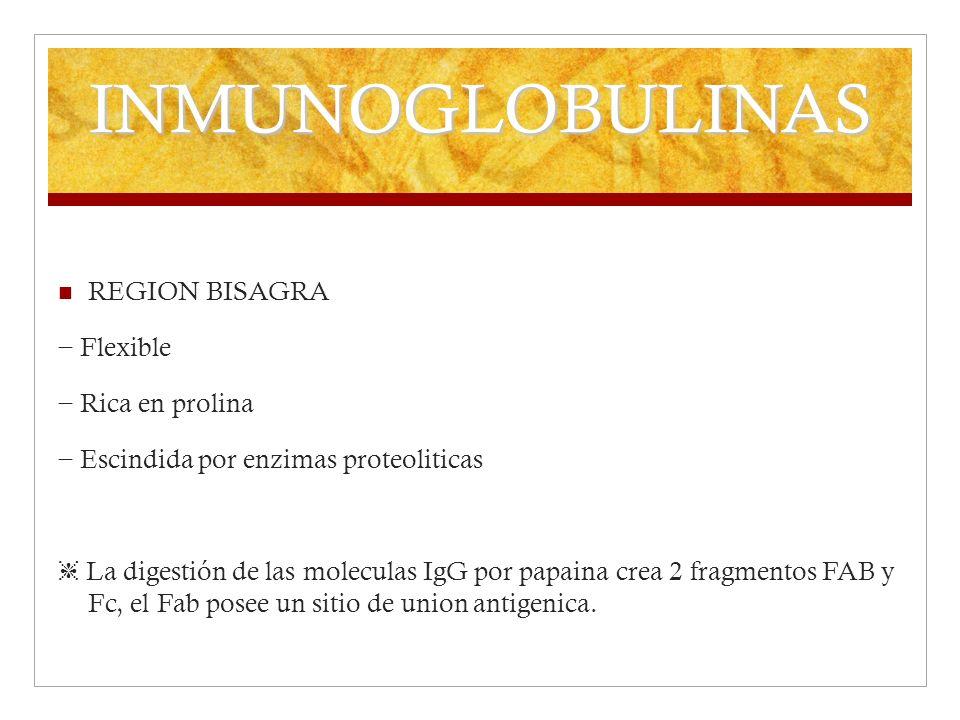 INMUNOGLOBULINAS REGION BISAGRA − Flexible − Rica en prolina