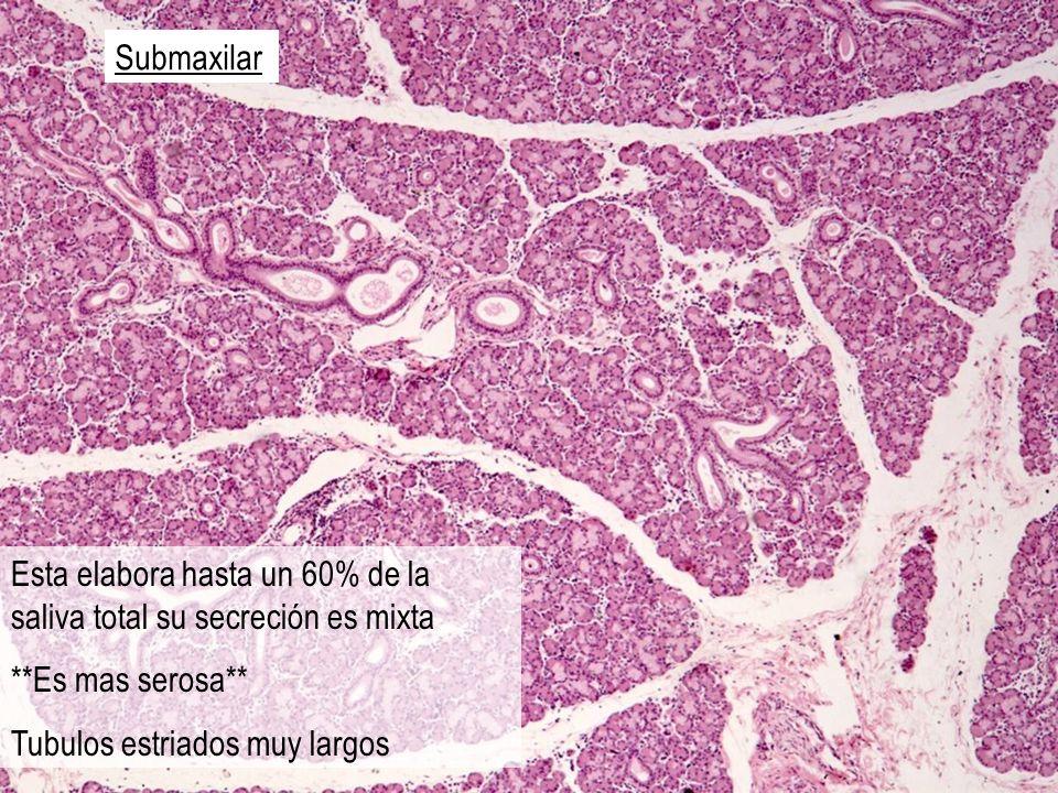 Submaxilar Esta elabora hasta un 60% de la saliva total su secreción es mixta.